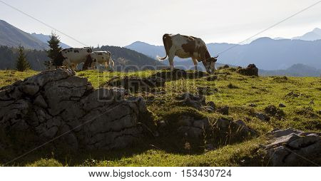 Cows are eating grass on a mountain enjoying fresh air.