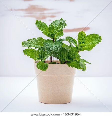 Fresh Green Mint Potted On White Shabby Wooden Background. Green Mint Planted In Pots With Copy Spac