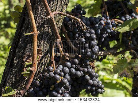 European hornet or Vespa crabro on blue grapes