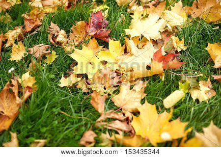 season, nature and environment concept - fallen autumn maple leaves on green grass