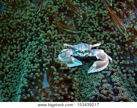 The surprising underwater world of the Bali basin, Island Bali, Puri Jati, cleaner crab
