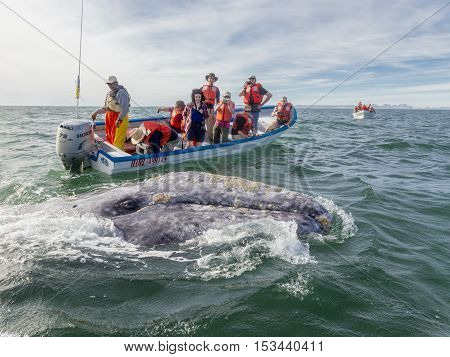San Iguacio, Mexico - Feb 13 2014 Gray Whale engages with tourists in the San Iguacio Lagoon