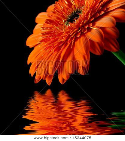 Orange daisy-gerbera on black background