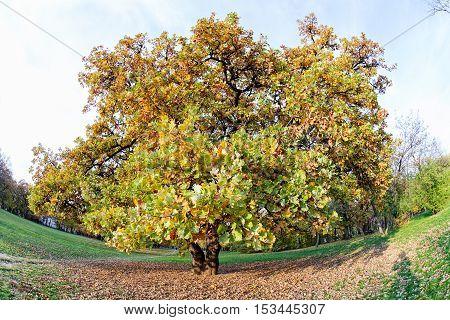 Oak In Autumn