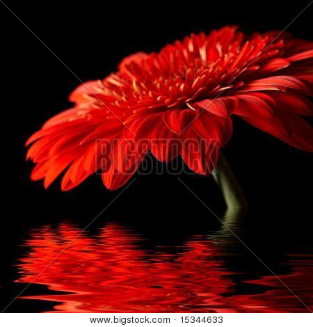 Red daisy-gerbera on black background
