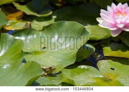 Little frog on a big leaf and pink lily