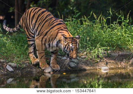 Bengal tiger comes to a waterhole to drink at Sunderban National Park.