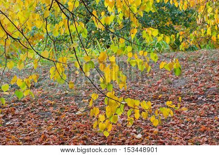 Hanging down branches of linden with autumn leaves on the background of a lawn covered by fallen leaves