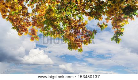 Hanging down branches of maple with autumn leaves and samaras on the background of a sky with clouds
