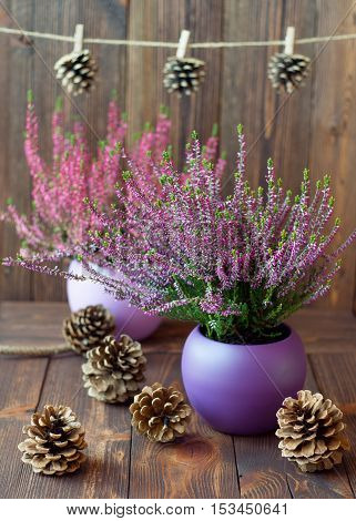 Heathers in ceramic pots and cones on the background of dark wooden planks