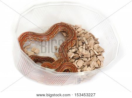 corn snake in front of white background