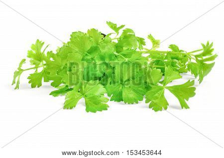 cilantro herb  isolated on white background cutout