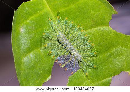 Common Archduke Caterpillar