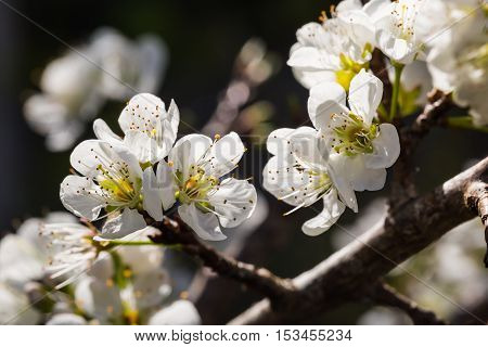 White Wild Himalayan Cherry Flowers