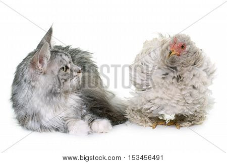 curly pekin chicken and cat in front of white background