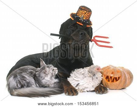 pet and halloween pumpkin in front of white background