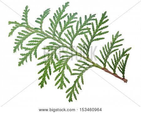 green plant branch isolated on white background