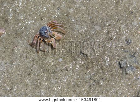 Sand Crab on the beach in Thailand.