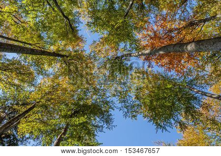Beech autumn forest and blue sky - view from below