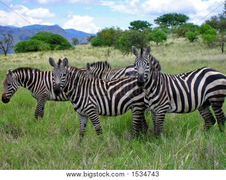 Zebras, Nech Sar Savannahs, Ethiopia