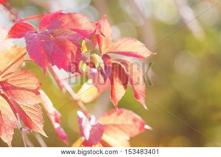 Autumnal branch with red leaves of wild grapes with backlight in blurred green background. small DoF focus
