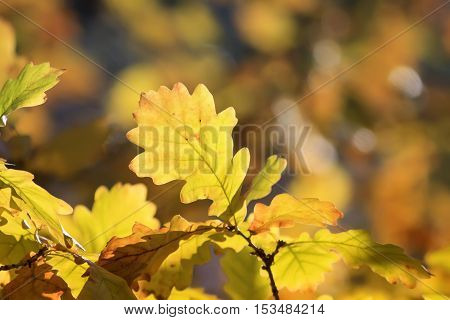bright yellow oak leaves on a background of autumn Park