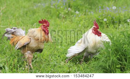 two cocks are standing and arguing in the green grass on the farm