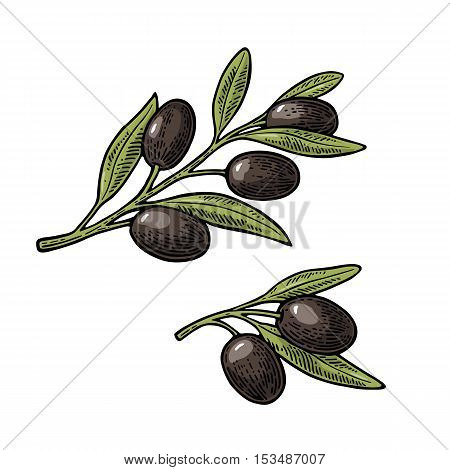 Black Olives on branch with leaves. Hand drawn design element. Vintage color vector engraving illustration for logotype poster web. Isolated on white background.