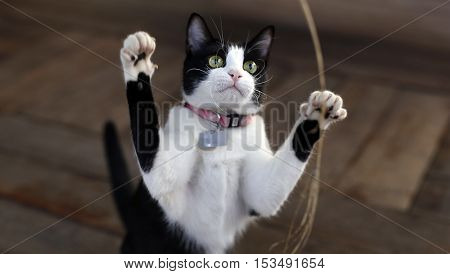 cute adorable black white kitten plays with leaves