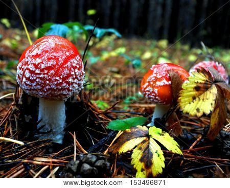 fun spotted red fly agaric in the autumn forest