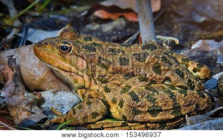 Great spotted toad close-up on a background of leaves and stones