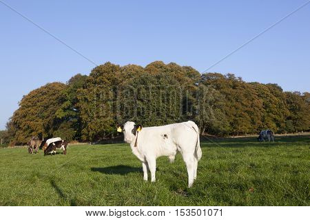 young bull calfs and cow in green meadow with cow in the background near Driebergen in the Netherlands