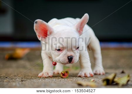 Dog obesityYoung french bulldog white Playing on the cement floor.