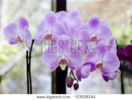 Purple orchid on a branch in the room