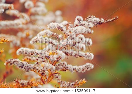 Goldenrod (solidago Canadensis) With Dry Seeds In A Fall Meadow. Autumn Background.