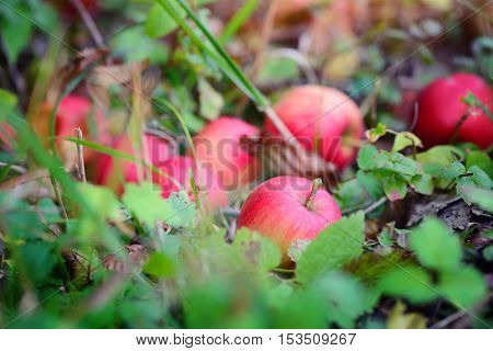 Ripe Red Apples On The Grass In Autumn Garden