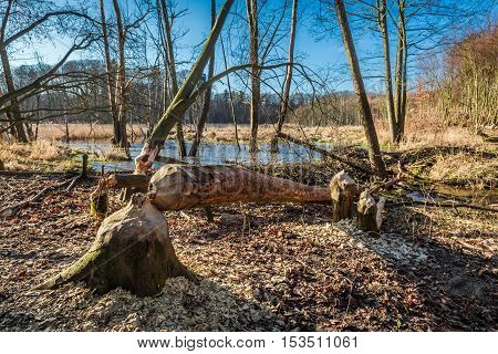 Tree gnawed by beavers in the woods at the backwater