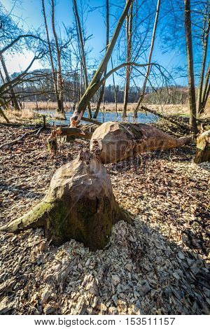 Tree felled by beavers in the woods at the backwater