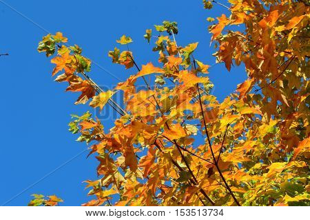 A close-up image of colourful Autumn leaves against a blue sky.