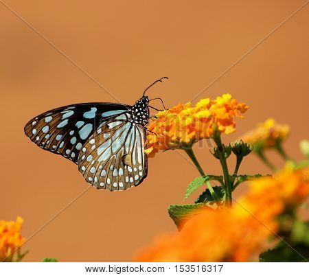 Blue Tiger butterfly feeding Scientific name - Tirumala limniace - Butterflies of the Indian subcontinent