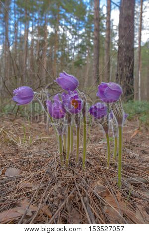 closeup of beautiful purple flowers blossomed in the woods