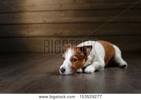 Dogs Jack Russell Terrier Portrait On A Studio Color Background,