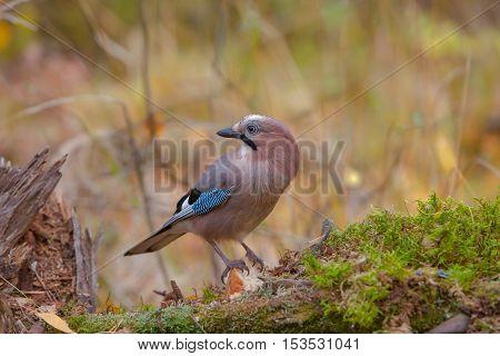 Beautiful Bird Jay In The Woods