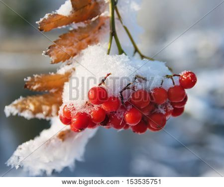 Bunches of red mountain ash covered with snow