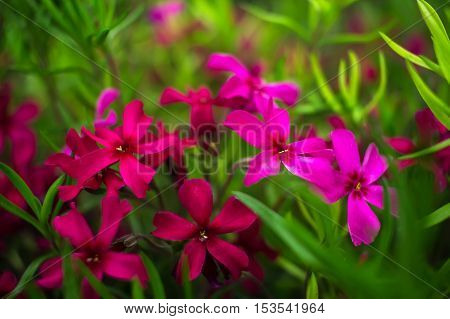 wild pink and purple flowers on green grass close-up.