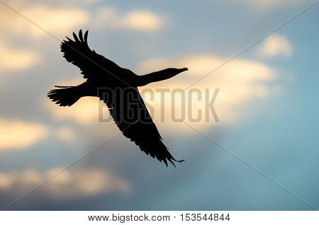 Silhouetted Double-Crested Cormorant Flying in the Sunset Sky