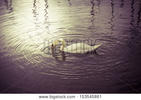 White Swan in the lake - Toned Image