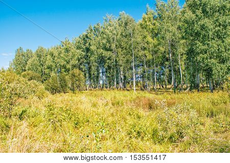 small birch grove on sunny summer day