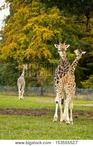 cute giraffes in Knuthenborg safari park in Denmark