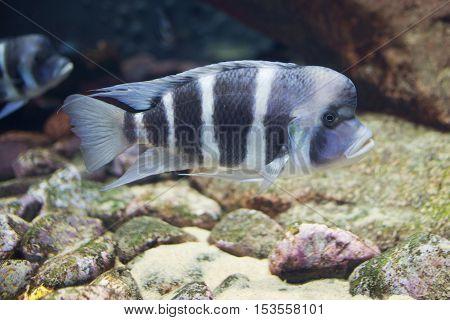 Close Up On Tropical Cyphotilapia Frontosa Fish